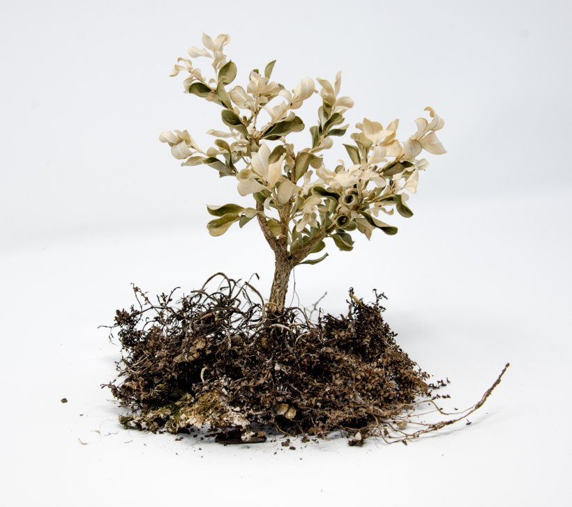 Photo of a white flowered tree pulled out of the soil to expose roots