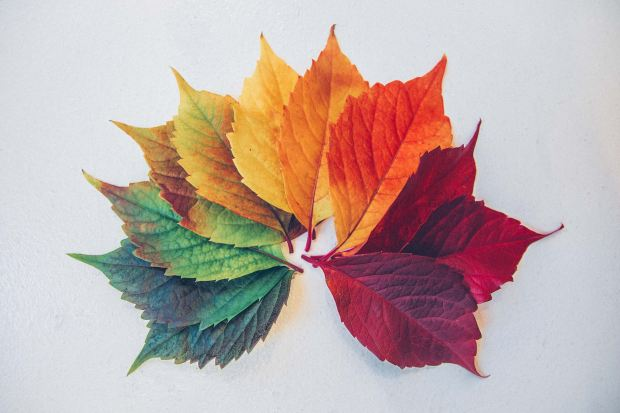Photo of maple leaves displayed in an arc shape ranging from colours green, yellow, orange and red