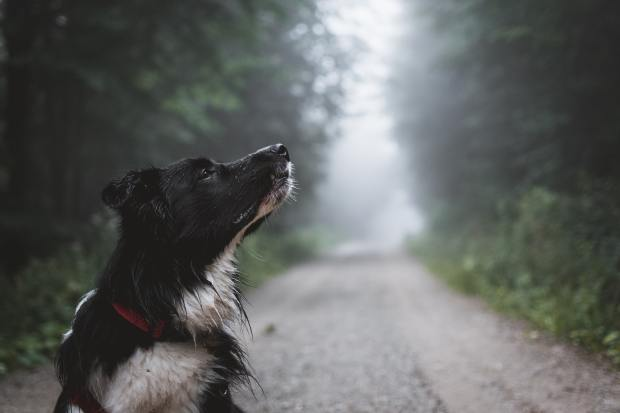 photo of a black and white dog on a forest path sniffing the air