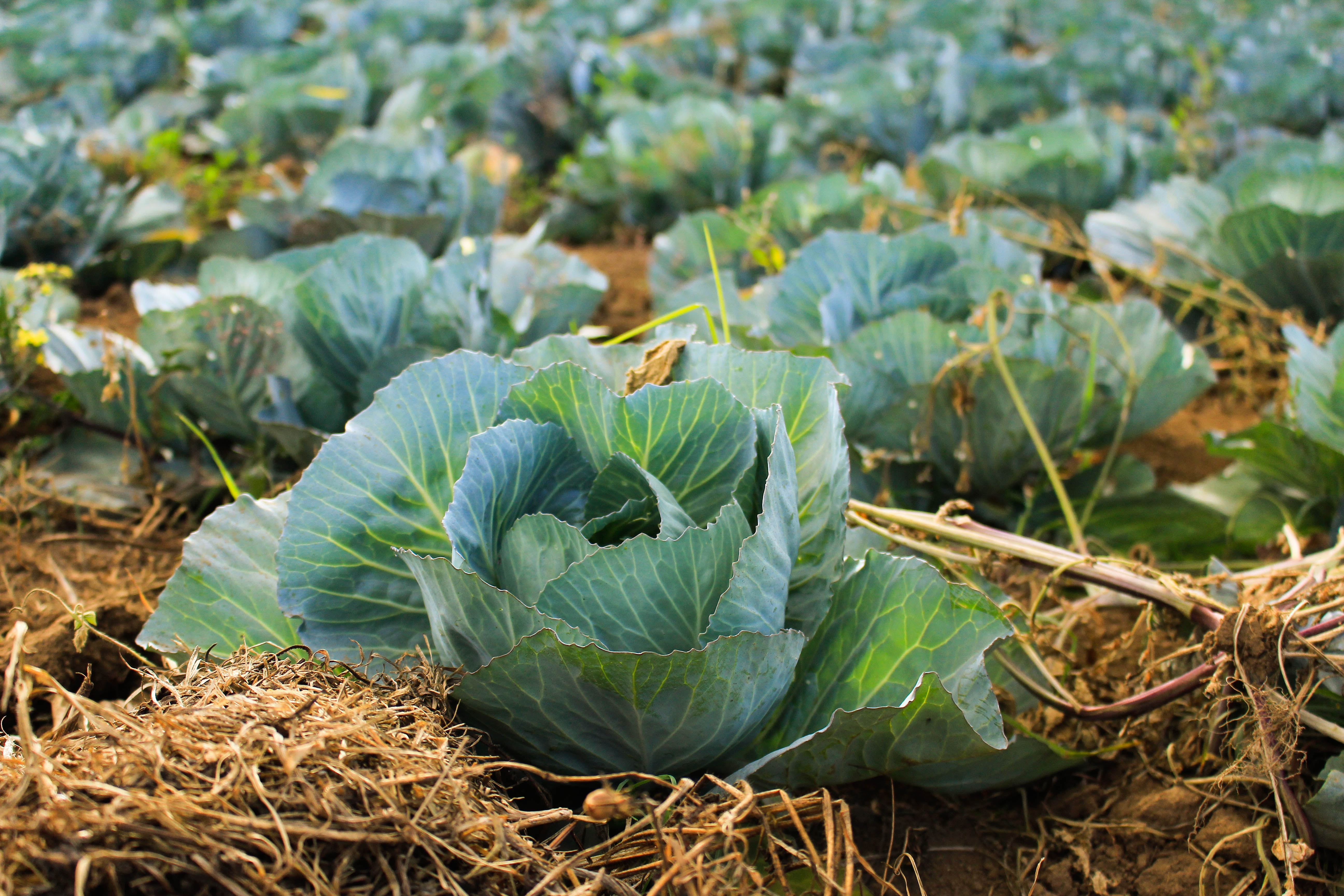 Photo of cabbages in a vegetable garden with hay and mulch