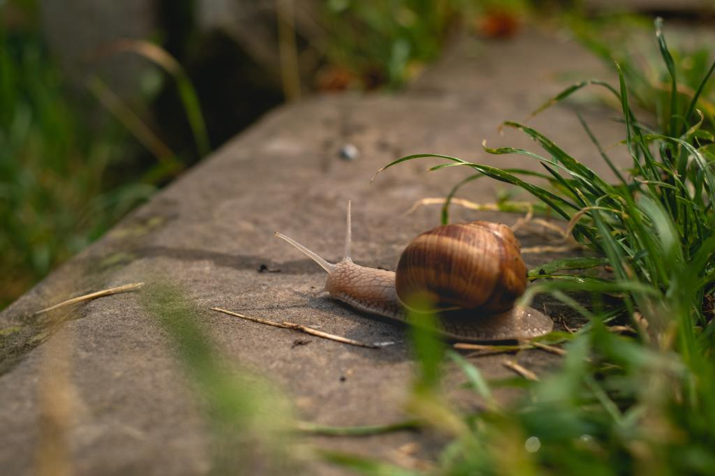Photo of a brown snail on concrete next to green grass